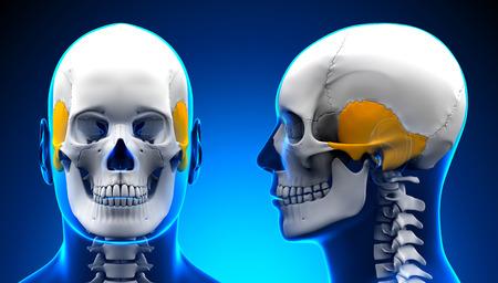 temporal: Male Temporal Bone Skull Anatomy - blue concept
