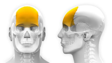 frontal: Male Frontal Bone Skull Anatomy - isolated on white Stock Photo