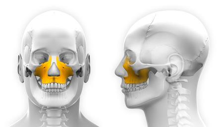 maxilla: Male Maxilla Bone Skull Anatomy - isolated on white Stock Photo