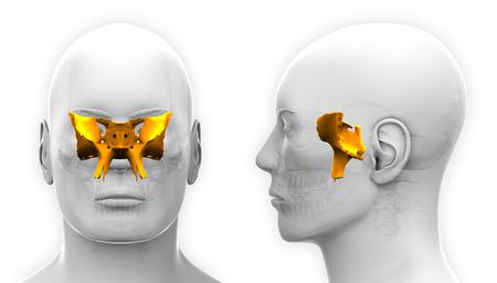 skull cranium: Male Sphenoid Skull Anatomy - isolated on white