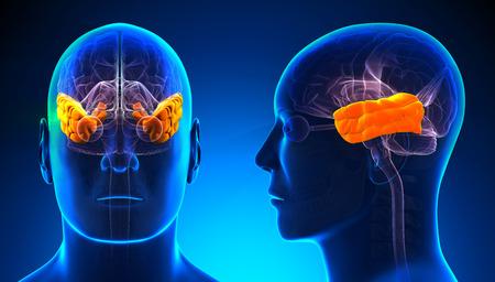 l�bulo: Hombre del l�bulo temporal del cerebro Anatom�a - azul concepto