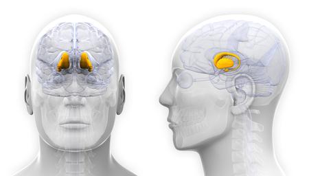 thalamus: Male Thalamus Brain Anatomy - isolated on white Stock Photo