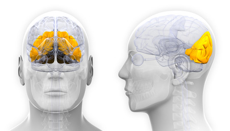 occipital: Male Occipital Lobe Brain Anatomy - isolated on white