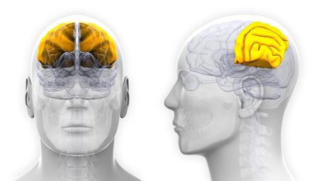 parietal: Male Parietal Lobe Brain Anatomy - isolated on white Stock Photo