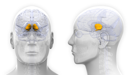 basal ganglia: Male Basal Ganglia Brain Anatomy - isolated on white Stock Photo