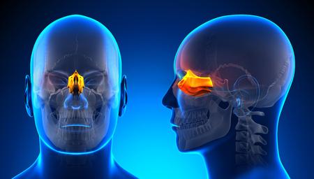 ethmoid: Male Ethmoid Skull Anatomy - blue concept