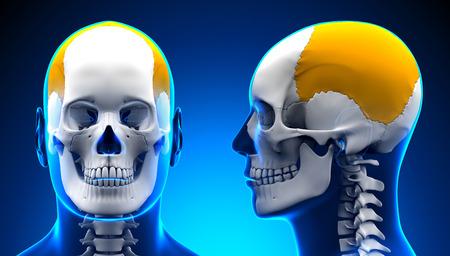 parietal: Male Parietal Bone Skull Anatomy - blue concept Stock Photo