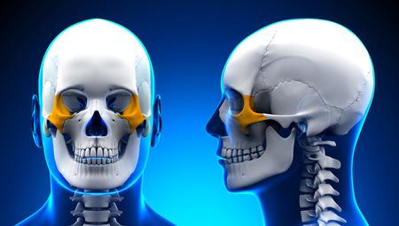 skull cranium: Male Zygomatic Bone Skull Anatomy - blue concept