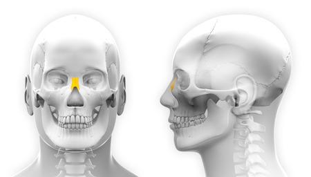 nasal: Male Nasal Bone Skull Anatomy - isolated on white Stock Photo