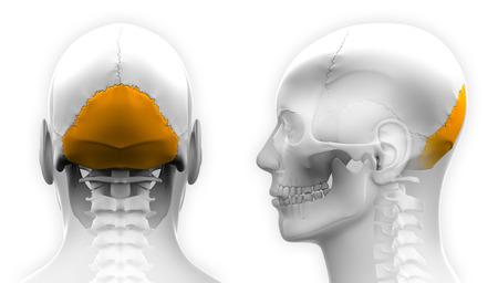 occipital: Male Occipital Bone Skull Anatomy - isolated on white