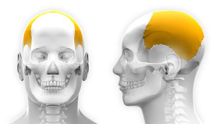 parietal: Male Parietal Bone Skull Anatomy - isolated on white