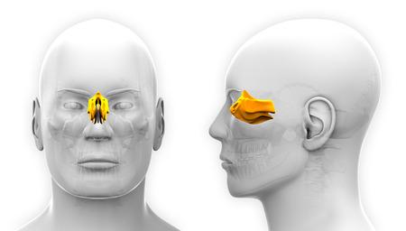 ethmoid: Male Ethmoid Skull Anatomy - isolated on white