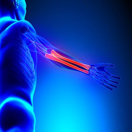 ulna: Radius Ulna Bones Anatomy with Circulatory System