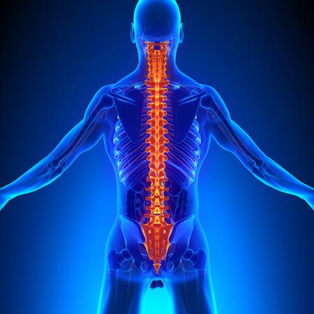 colonna vertebrale: Spine Anatomia con Ciculatory Sistema Archivio Fotografico