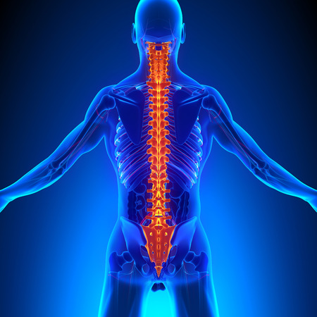 chiropractor: Spine Anatomy with Ciculatory System