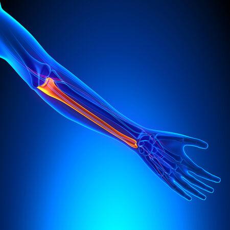 ulna: Ulna Bone Anatomy with Ciculatory System