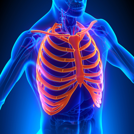 rib cage: Rib Cage Anatomy Bones with Circulatory System