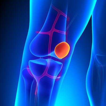 patella: Patella Anatomy Knee Bone with Ciculatory System