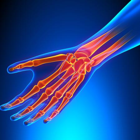 artrosis: Anatomía de la muñeca con el Sistema Circulatorio