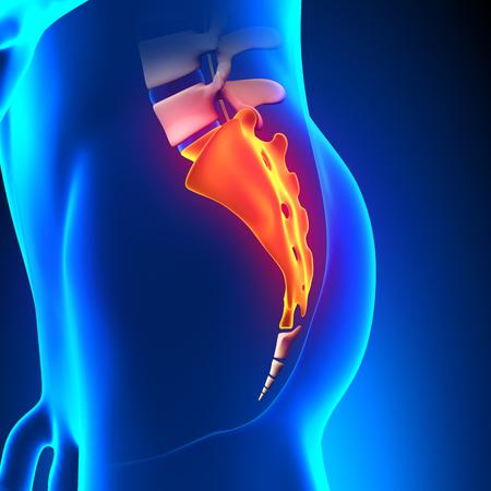sacrum: Sacrum Bone Anatomy pain Stock Photo