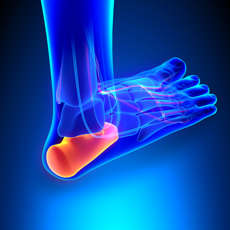heels: Calcaneus Bone Anatomy with Ciculatory System