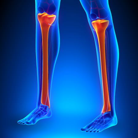 tibia: Tibia Anatomy Bones with Ciculatory System Stock Photo