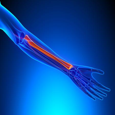 fractures: Radius Anatomy Bone with Ciculatory System