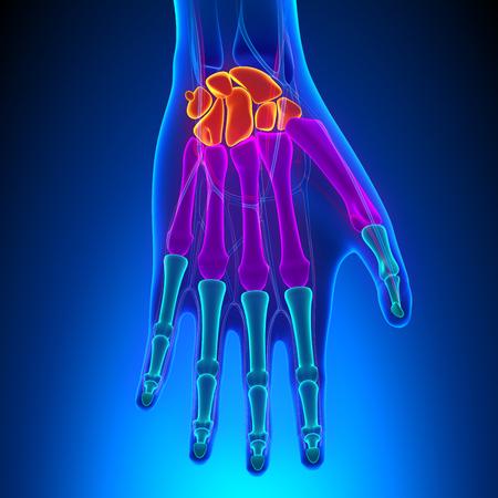 distal: Anatomía de la mano humana y la muñeca con el Sistema Circulatorio Foto de archivo
