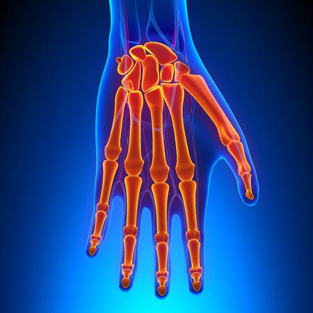 Palm Anatomy with Circulatory System