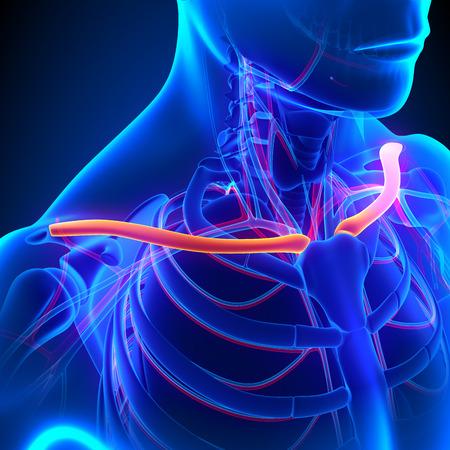 Weibliche Schlüsselbein-Knochen Anatomie - Anatomie Bones ...
