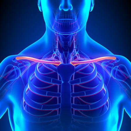 rotator cuff: Clavicle Bone Anatomy with Circulatory System