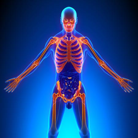 men   back: Upper Skeleton Bones Anatomy