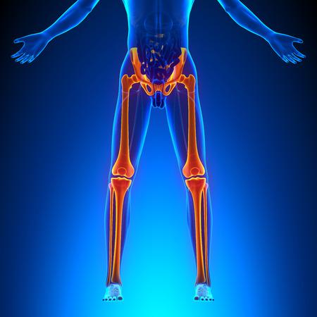 male feet: Bones Legs Anatomy