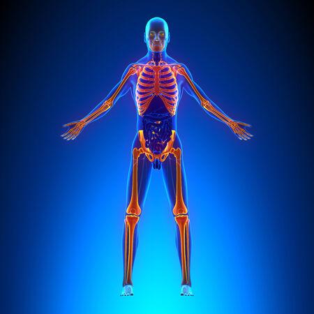 scheletro umano: Skeleton Anatomy Pain concept - con Ciculatory Sistema