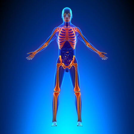 transparent male anatomy: Skeleton Anatomy Pain concept - with Ciculatory System