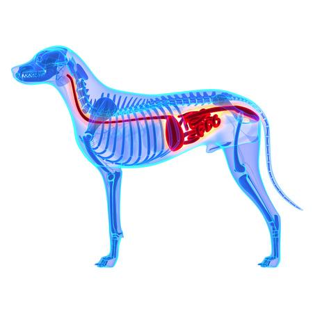 sistema digestivo: Perro del Sistema Digestivo - Canis Lupus Familiaris Anatom�a - aislado en blanco Foto de archivo