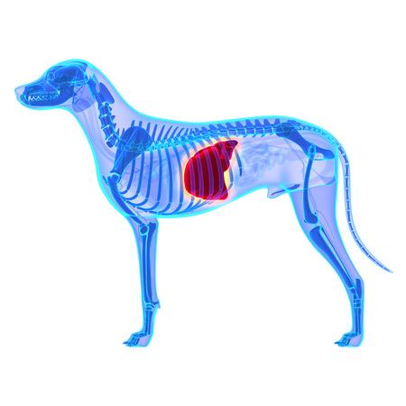 犬の肝 - Canis Lupus 行動解剖学 - 白で隔離