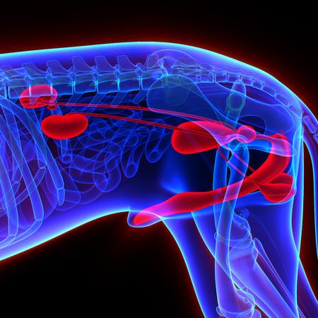 uretra: Perro Urogenital System - Canis Lupus Familiaris Anatomía - aislado en negro Foto de archivo