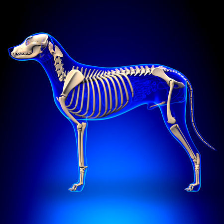 skeletons: Dog Skeleton - Canis Lupus Familiaris Anatomy - side view