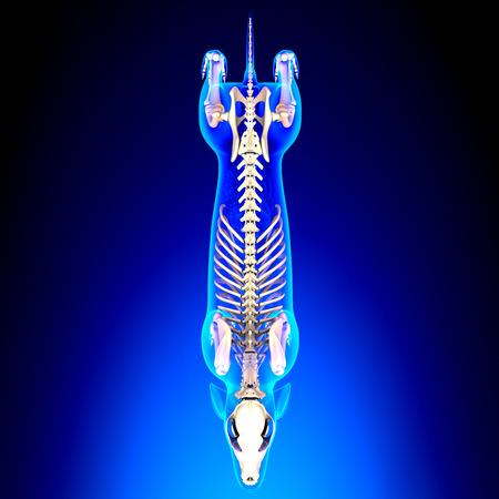 Dog Skeleton - Canis Lupus Familiaris Anatomy - top view Stockfoto