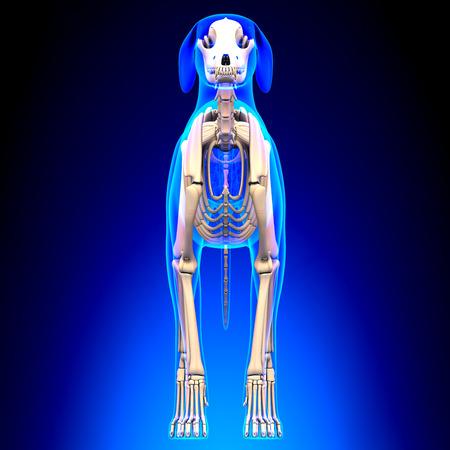 tarsus: Dog Skeleton - Canis Lupus Familiaris Anatomy - front view Stock Photo