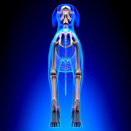 Dog Skeleton - Canis Lupus Familiaris Anatomy - back view 写真素材