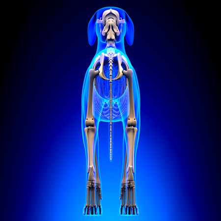 canis: Dog Skeleton - Canis Lupus Familiaris Anatomy - back view Stock Photo