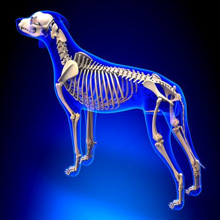 犬の骨格 - Canis Lupus 行動解剖学 - 分析観点ビュー 写真素材