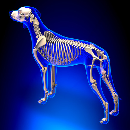 Dog Skeleton - Canis Lupus Familiaris Anatomy - perspective view Stock Photo