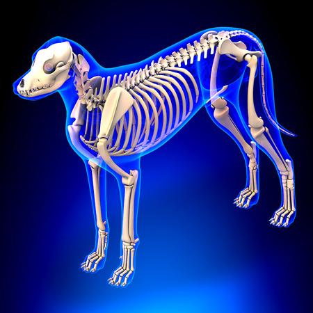 tarsus: Dog Skeleton - Canis Lupus Familiaris Anatomy - vista prospettica Archivio Fotografico