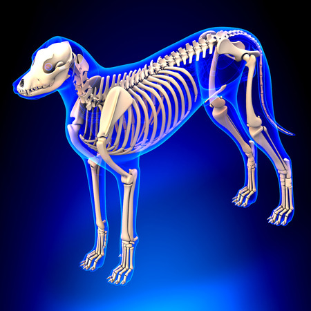 Dog Skeleton - Canis Lupus Familiaris Anatomy - perspective view Stockfoto