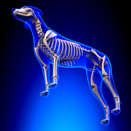 tarsus: Dog Skeleton - Canis Lupus Familiaris Anatomy - perspective view Stock Photo