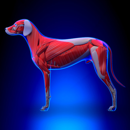 gastrocnemius: Dog Muscles Anatomy - Muscular System of the Dog Stock Photo