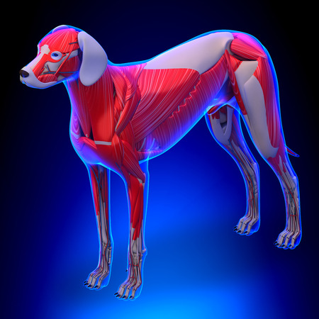 gastrocnemius: Dog Muscles Anatomy - Anatomy of a Male Dog Muscles